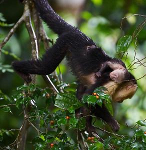 Capuchin monkey with baby.