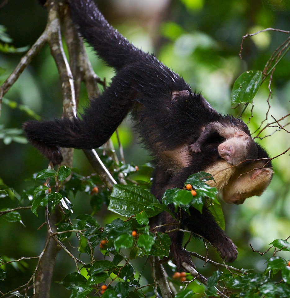 Capuchin monkey with baby.