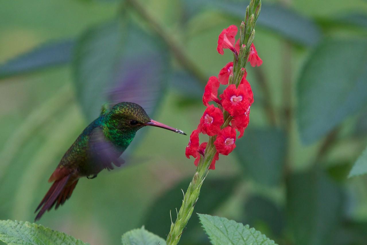 Rufous-tailed Hummingbird. (Handheld with no flash.)