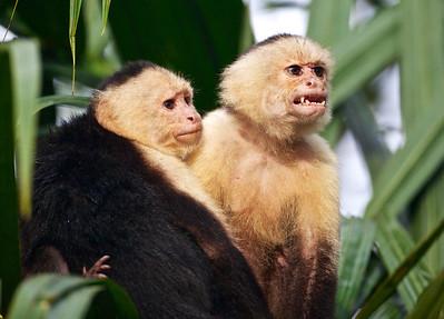 Capuchin monkeys.