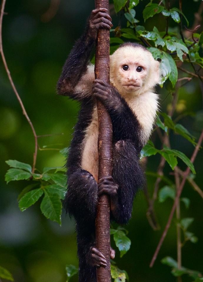 Capuchin monkey.