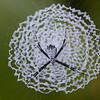 Argiope savignyi, Silverback Cross Spider