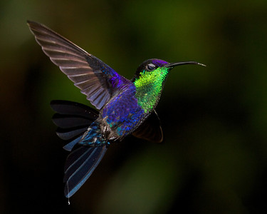 Wood Nymph hummingbird.