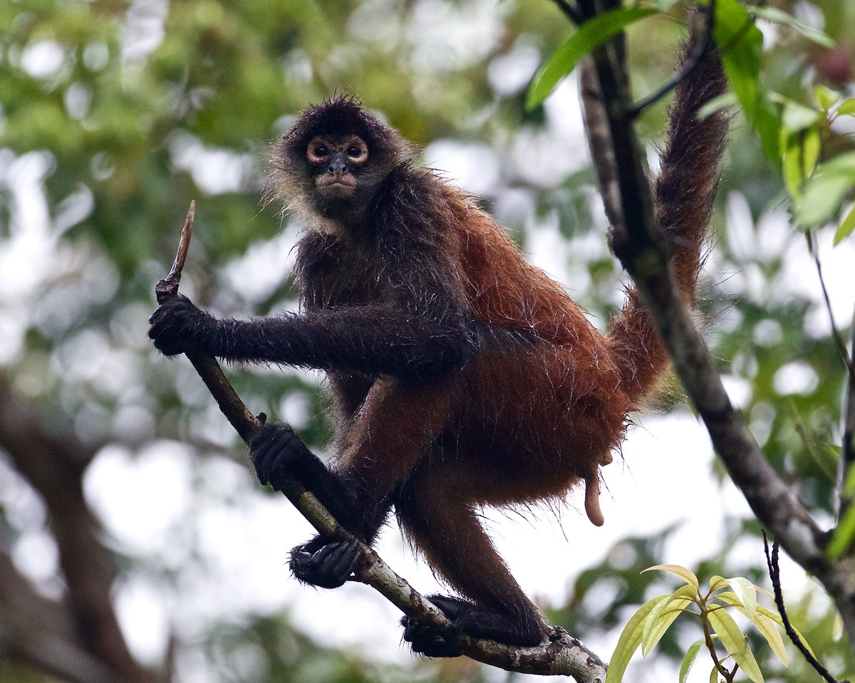 Spider monkey.