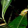 Agalychnis Leptodeira