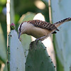 2014- rufous-naped wren- San Jose