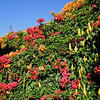 2014_Bouganvilla blooms_ Dec 26 2014