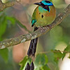 2013- blue-crowned motmot- Turrialba