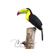 Keel-Billed Toucan in Costa Rica