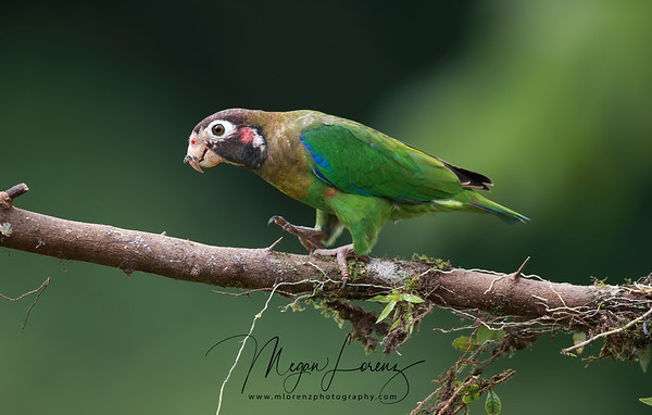 Brown-Hooded Parrot in Costa Rica