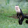 White-Faced Capuchin Monkey in Costa Rica