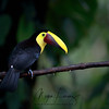 Black-Mandibled Toucan in Costa Rica