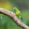Orange-Chinned Parakeet in Costa Rica