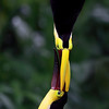Yellow-Throated Toucans fighting in Costa Rica