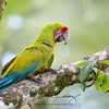 Great Green Macaw in Costa Rica