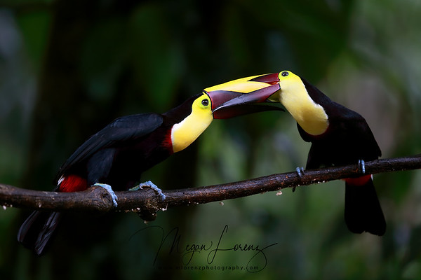 Two Black-Mandibled Toucans (now called Yellow-Throated Toucans) fighting in Costa Rica