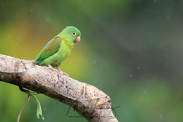 Orange-Chinned Parakeet in Costa Rica