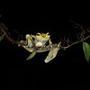 Reticulated Glass Frog in Costa Rica (Wild)