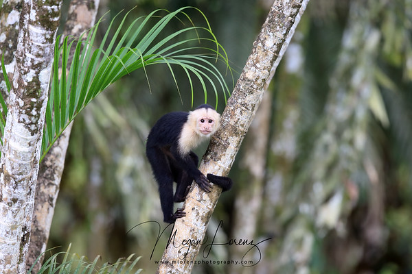 White-headed Capuchin Monkey in Costa Rica