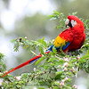 Scarlet Macaw in Costa Rica (Wild)