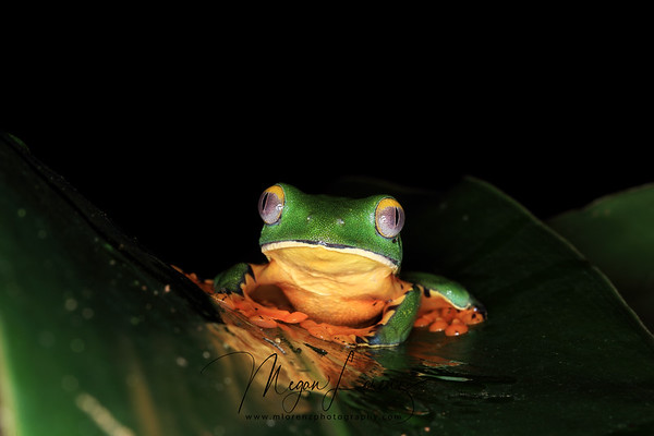 Barred Leaf Frog in Costa Rica