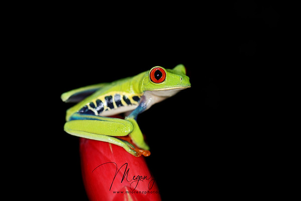 Wild Red-Eyed Tree Frog in Costa Rica