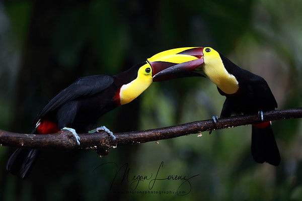 Two Black-Mandibled Toucans fighting in Costa Rica