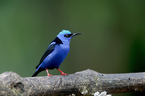 Red-Legged Honeycreeper Male in Costa Rica