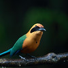 Rufous Motmot in Costa Rica lowlands.