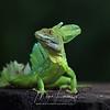 Common Basilisk Lizard in Costa Rica