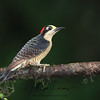 Black-Cheeked Woodpecker in Costa Rica