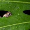 Closeup of a frog in Costa Rica.