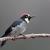 Acorn Woodpecker in Costa Rica