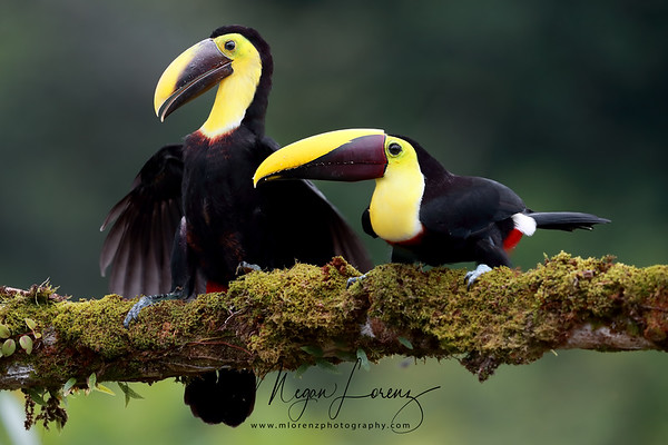Yellow-Throated Toucan Adult (On Left) and baby (On Right) in Costa Rica