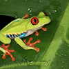 Red-Eyed Tree Frog moving down from the canopy after a heavy rain in the rainforest in Costa Rica.