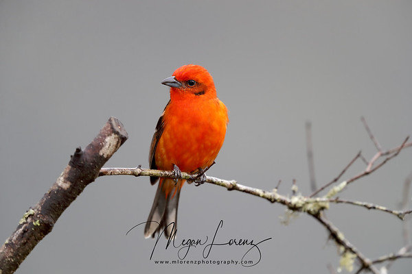 Scarlet Tanager in Costa Rica