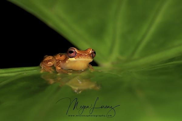 Hourglass Tree Frog in Costa Rica