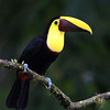Yellow-Throated Toucan in Costa Rica