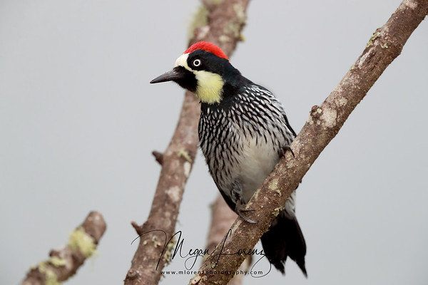 Acorn Woodpecker in Costa Rica