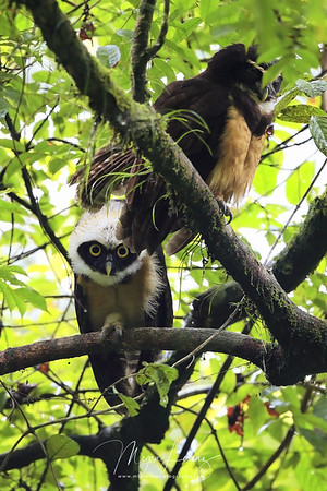 Spectacled Owls in Costa Rica