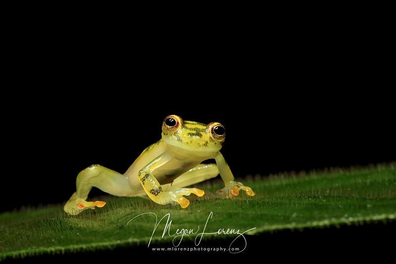 Reticulated Glass Frog (Hyalinobatrachium valerioi) in Costa Rica