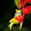 Red-Eyed Tree Frog on a Heliconia in Costa Rica