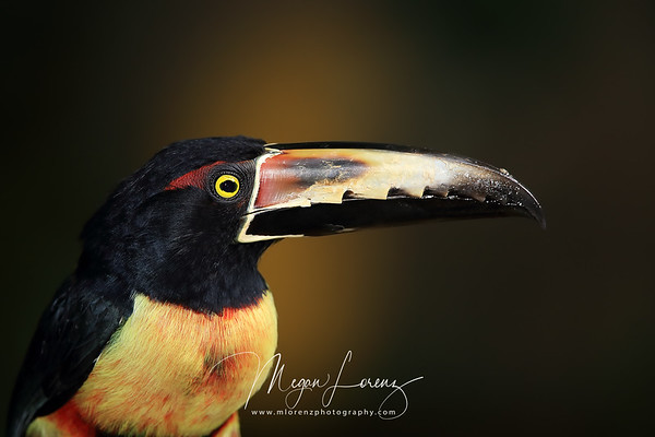 Collared Aracari in Costa Rica