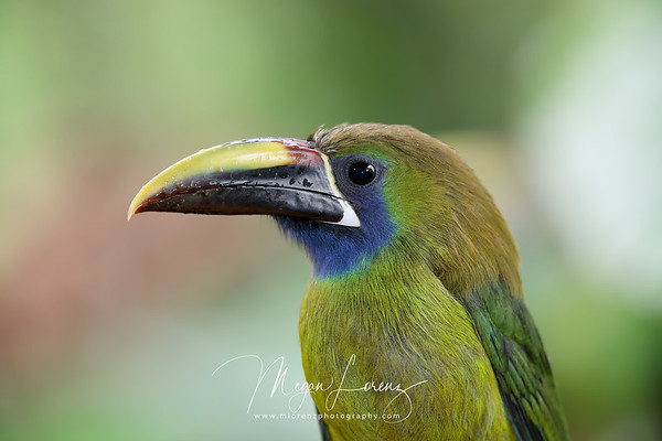 Blue-throated Toucanet (Aulacorhynchus caeruleogularis) in Costa Rica