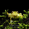 Reticulated Glass Frog (Hyalinobatrachium valerioi) in Costa Rica