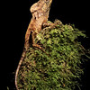 Smooth Helmeted Iguana (Helmeted Basilisk) in Costa Rica