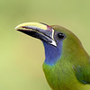 Closeup of an Emerald Toucanet in Costa Rica