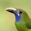 Closeup of an Emerald Toucanet in Costa Rica