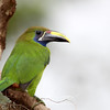 Emerald Toucanet in Costa Rica