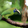 Blue-throated Toucanet (Aulacorhynchus caeruleogularis) in Costa Rica